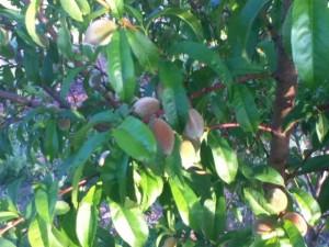 orchard,community orchard,plant fruit trees,fruit,fruit trees,grow fruit,
