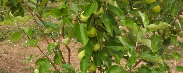 Thinning Your Fruit Trees for Better Yield
